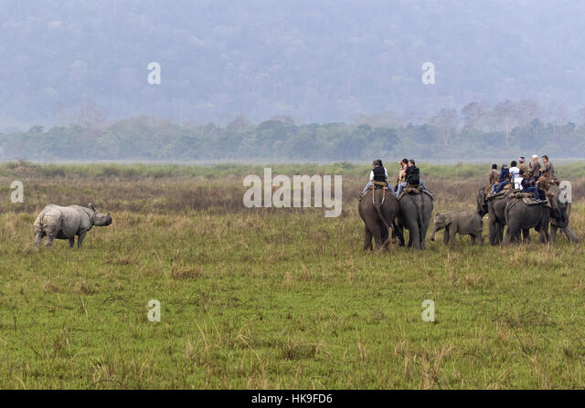 tourists on Asian elephants watching adult Indian rhinoceros (Rhinoceros unicornis), Kaziranga National Park, Assam, - Stock-Bilder