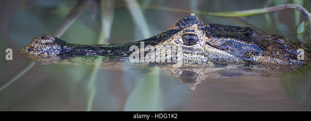 Yacare Caiman (Caiman yacare) close up with reflection - Stock Image