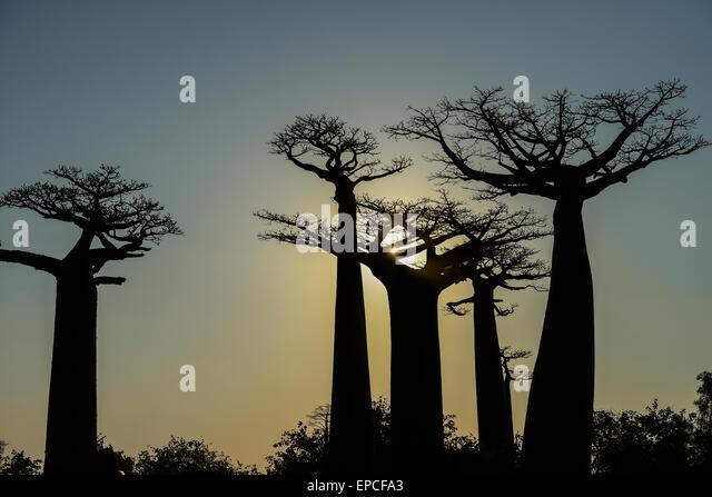 baobab avenue, menabe, madagascar - Stock Image
