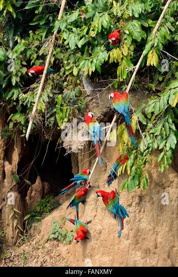 Red-and-green macaw (Ara chloroptera), colony on clay bank, Manu National Park, Peru - Stock Image