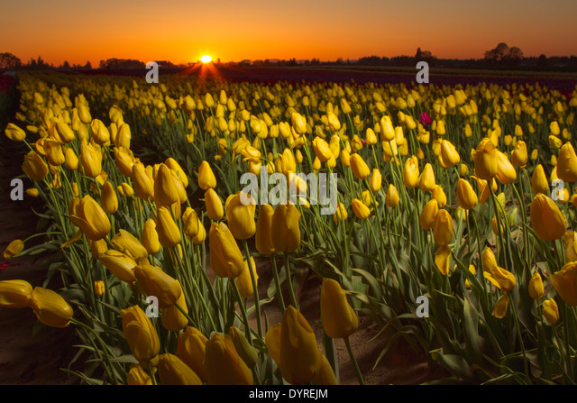 Tulip field at sunset illuminated with a strobe flash - Stock Image