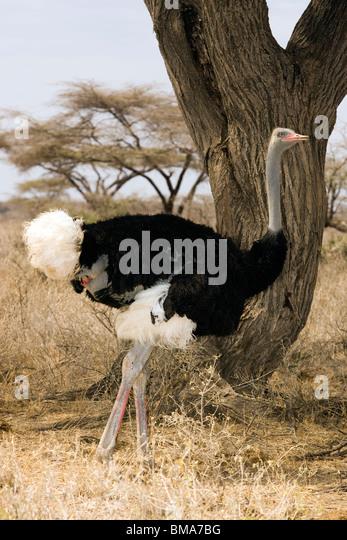 Ostrich - Samburu National Reserve, Kenya - Stock Image