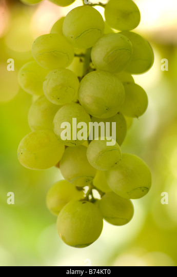 Grapes on the vine Lebanon Middle East - Stock Image