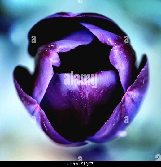 Tulip Queen of the night - Stock Image