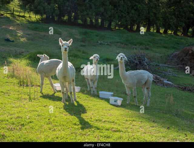 Young alpacas on a farm in late afternoon sun, Bay of Plenty, New Zealand - Stock Image
