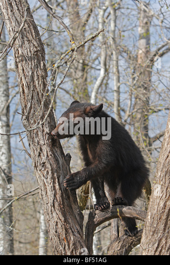 American Black Bear (Ursus americanus). Yearling (1 year and a half old) sitting secure in a tree. - Stock-Bilder