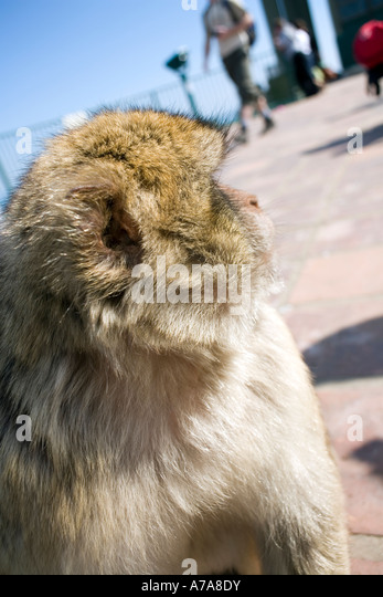 Gibraltar ape looking up at visitors, Gibraltar, Europe, - Stock Image