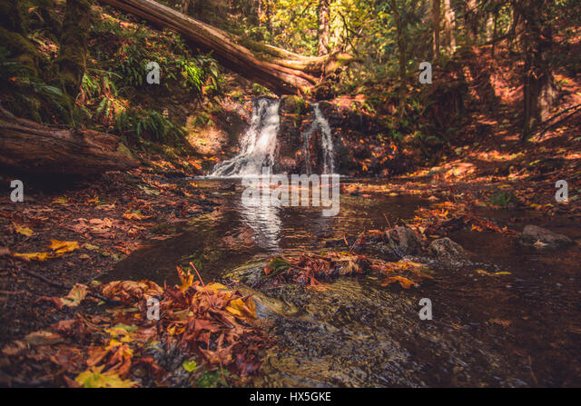 Autumn in the Pacific Northwest of the United States. Colorful Fall leaves are pulled down a gentle stream with - Stock Image