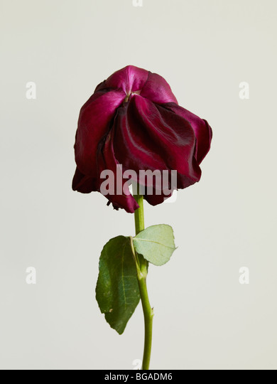 Dried Up Red Rose - Stock Image
