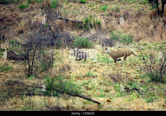 South Africa, near Rustenburg, Pilanesberg National Park. Lion, Panthera leo, hunting warthog. - Stock Image