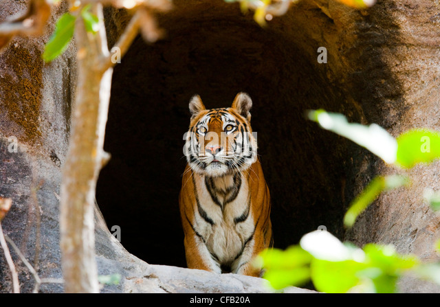 Bengal Tiger, Bandhavgarh National Park, Madhya Pradesh, India - Stock-Bilder