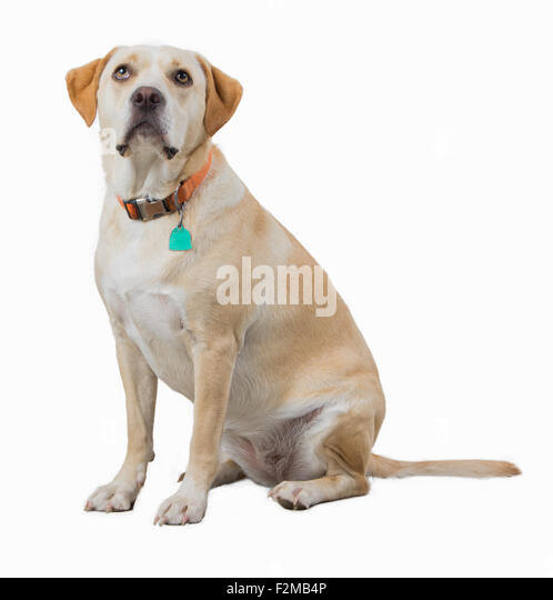 Yellow dog isolated on white - Stock Image