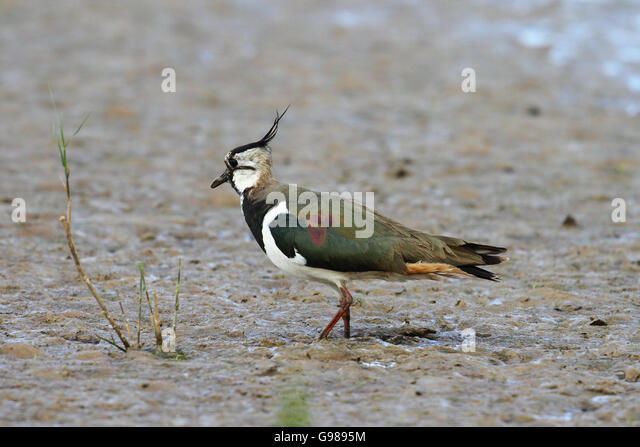 Lapwing (Vanellus vanellus) or Green Plover - Stock Image