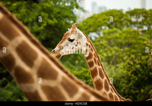 Two giraffes in a park in front of trees with city buildings out of focus in the background - Stock-Bilder