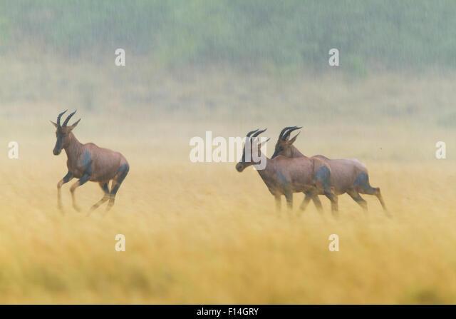 Korrigum topi (Damaliscus lunatus korrigum) running in the rain, Masai-Mara Game Reserve, Kenya. February. - Stock Image
