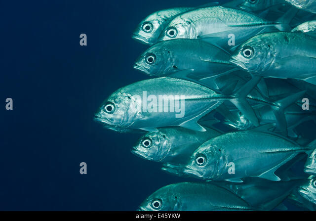 School of Bigeye jacks / Trevally (Caranx sexfasciatus). Misool, Raja Ampat, West Papua, Indonesia - Stock Image