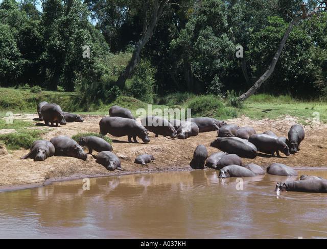 hippopotami at the shore Hippopotamus amphibius - Stock-Bilder