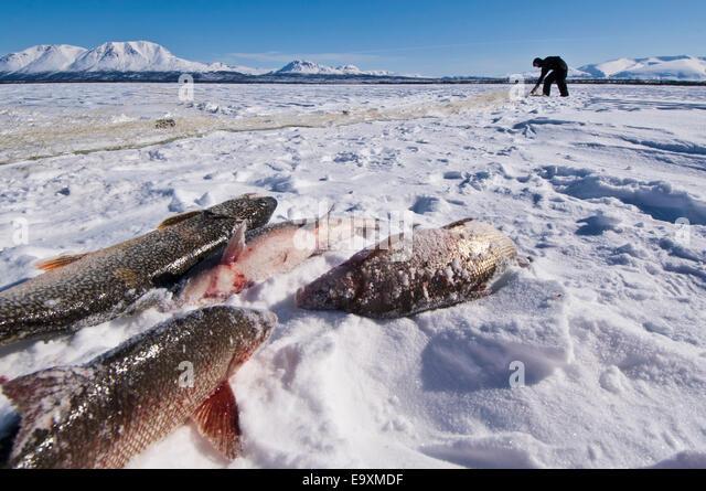Whitefish range stock photos whitefish range stock for Alaskan white fish