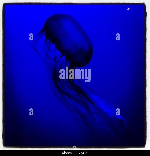 Jellyfish on blue at the aquarium - Stock Image