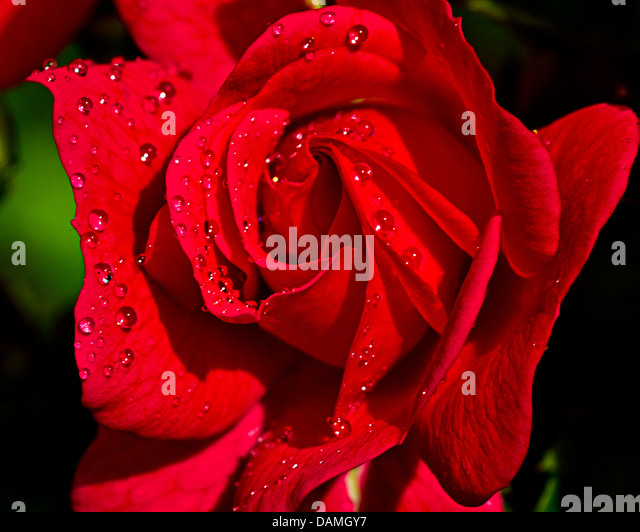 Patio red rose with water drops - Stock Image