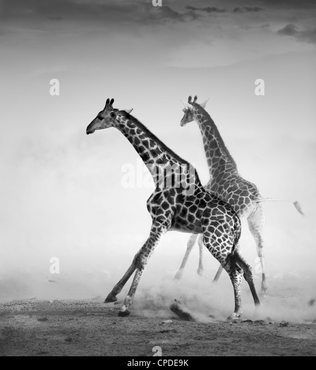 Giraffes on the run (Artistic processing) - Stock Image