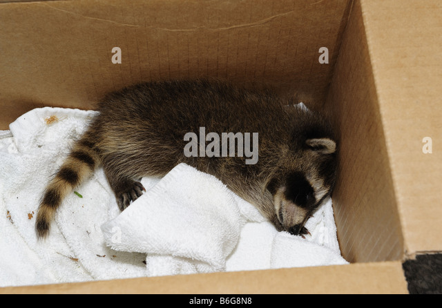 Rescued baby raccoon sleeping in a box - Stock Image