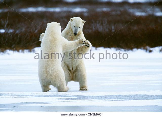 Polar bears, Manitoba, Canada - Stock Image