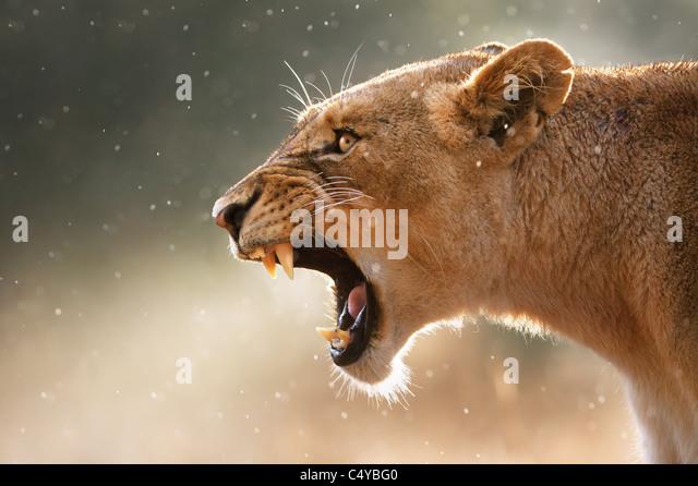 Lioness displays dangerous teeth during light rainstorm - Kruger National Park - South Africa - Stock Image