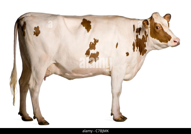 Holstein cow, 4 years old, standing in front of white background - Stock Image