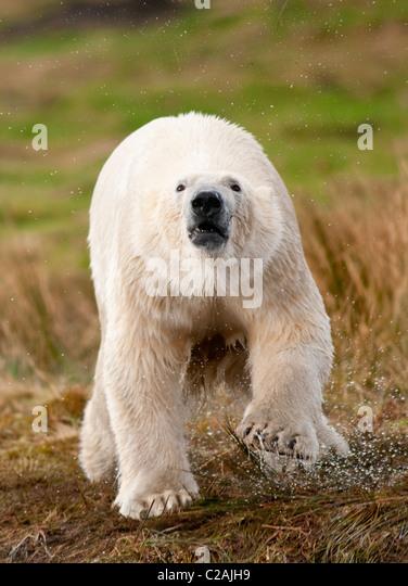 Polar Bear - Stock-Bilder