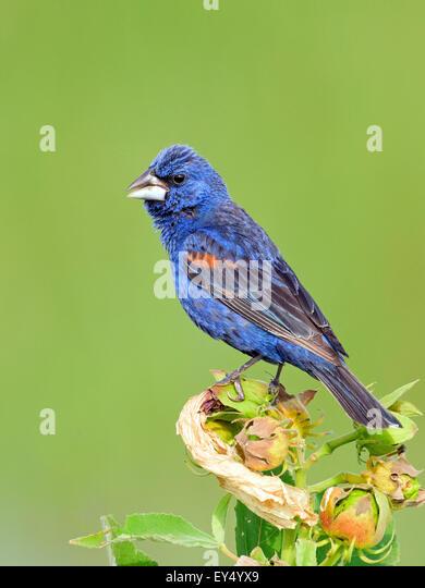Blue Grosbeak perched on some flowers. - Stock-Bilder