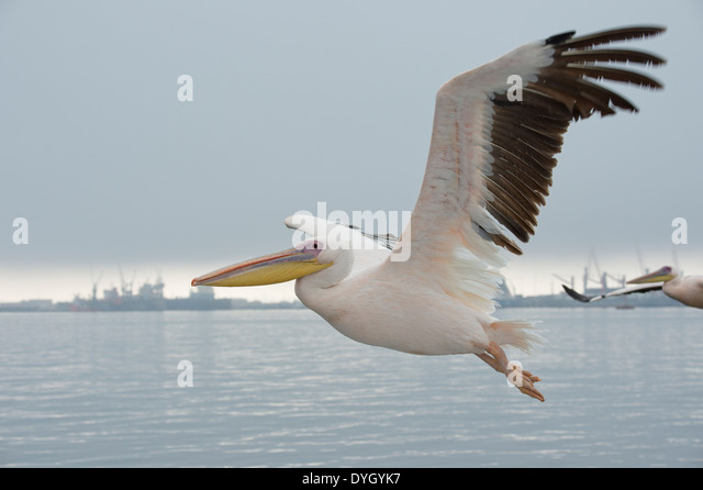 Great White Pelican (Pelecanus onocrotalus) also known as the Eastern White Pelican, Rosy Pelican. Walvis Bay, Namibia. - Stock Image
