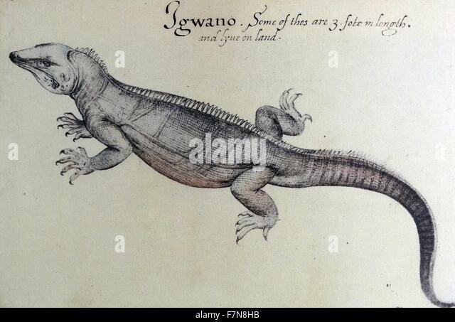 watercolor of an Iguana  by John White (created 1585-1586). - Stock-Bilder