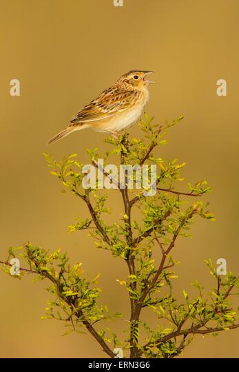 Grasshopper Sparrow  Ammodramus savannarum Sonoita, Cochise County, Arizona, Unites States 17 May        Adult Male - Stock Image