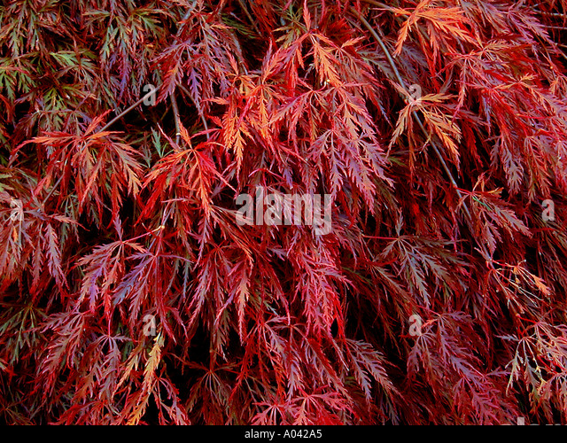 acer palmatum dissectum atropurpureum stock photos acer. Black Bedroom Furniture Sets. Home Design Ideas