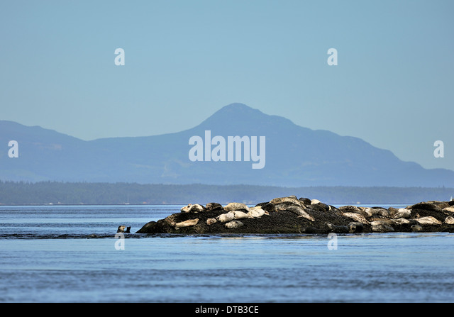 A herd harbor (or harbour) seals (Phoca vitulina) also known as the common seal basking in the sun on an island - Stock Image