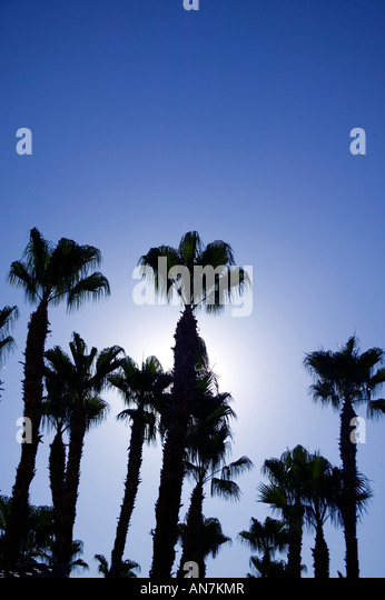looking up at a group of palm trees with sun backlighting in Palm Springs California USA - Stock Image