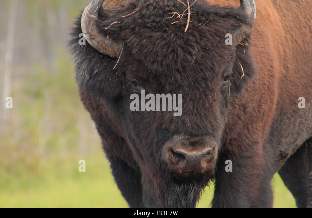 Mackenzie Bison Sanctuary, Northwest Territories - Stock Image