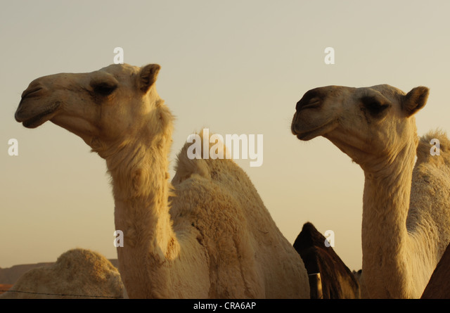 Two cream camels in their enclosure. Taken at the Red Sands desert, Riyadh, Kingdom of Saudi Arabia - Stock Image