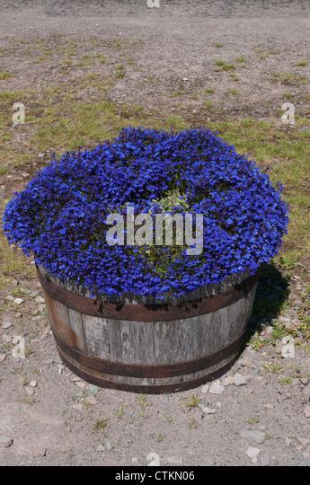 Blue Lobelia flowers growing in former barrels on display - Stock Image