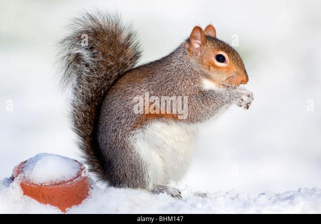 Grey Squirrel; Sciurus carolinensis; in the snow - Stock Image