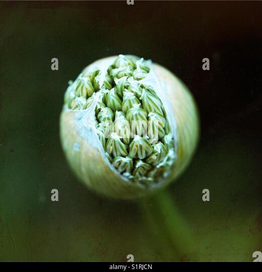Allium flower head - Stock Image
