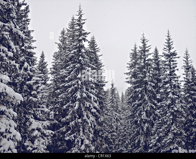 Snow-covered trees in forest - Stock Image