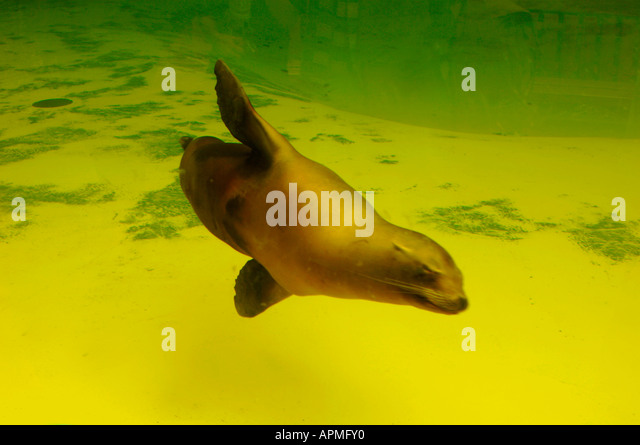 Californian Sea lion Swimming Underwater - Stock Image