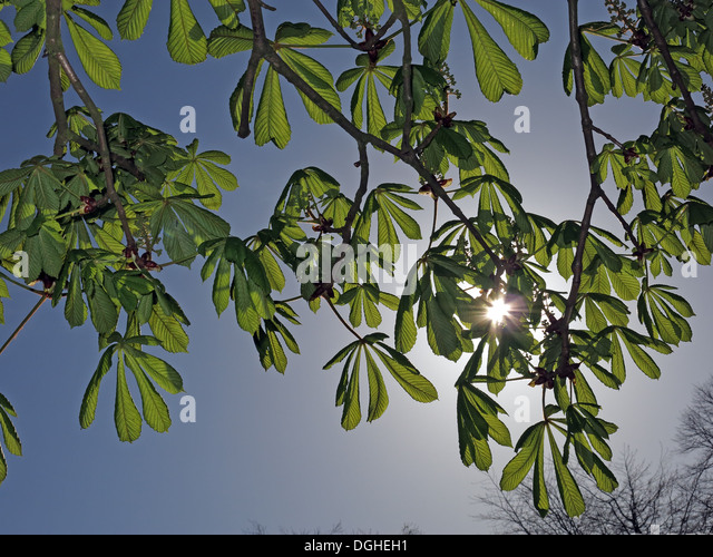 Horse Chestnut with sun behind, Aesculus hippocastanum in spring - Stock Image