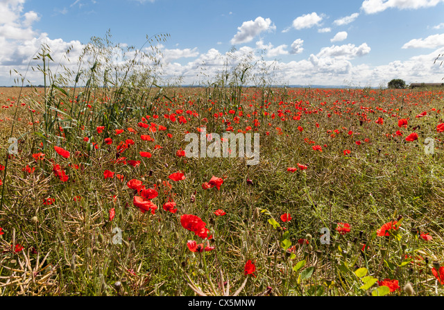 RED/SCARLET POPPIES GROWING IN FILED OF OIL SEED RAPE IN SUMMER IN WILTSHIRE ENGLAND UK - Stock-Bilder