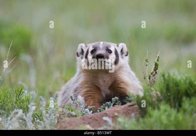 American Badger Taxidea taxus young at den Rocky Mountain National Park Colorado USA - Stock Image