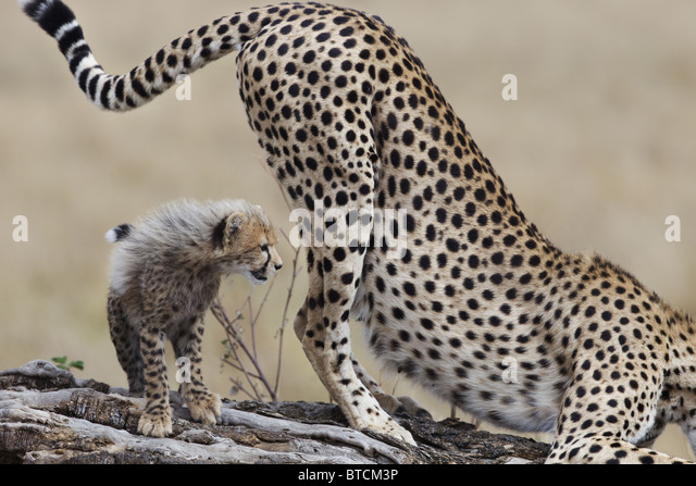 Cheetah female(Acinonyx jubatus) with cub scent marking. - Stock Image