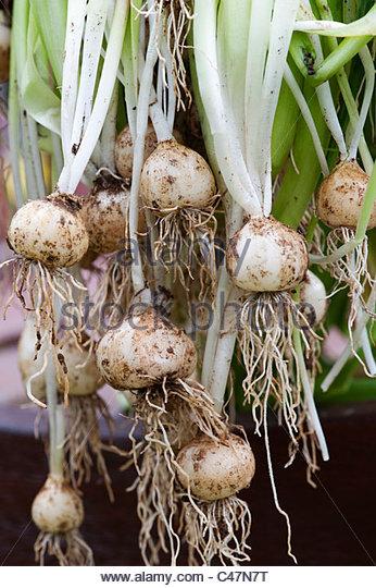 Dug up spanish bluebell bulbs. Invasive plant species - Stock Image