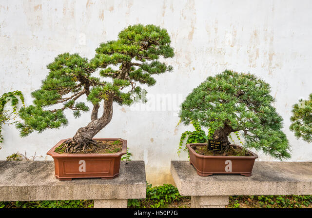 Bonsai trees in the Humble Administrator's Garden, a Chinese garden in Suzhou, a UNESCO World - Stock Image